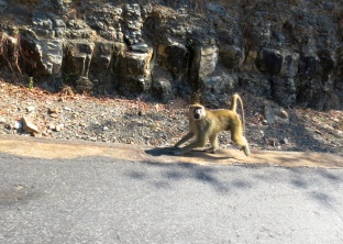 Hungry baboon
